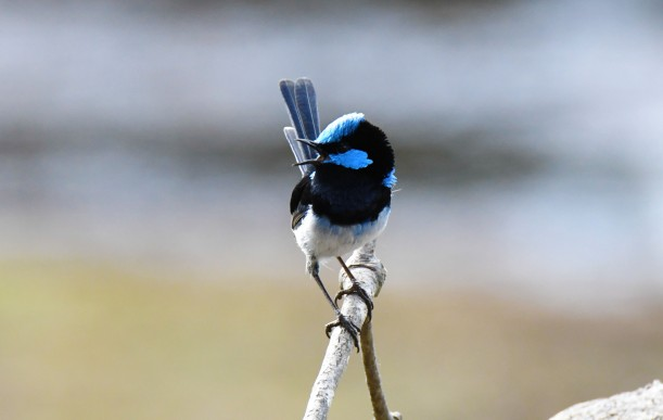 Superb Fairy-wren. Bald Hills Reserve, Vic. 16.4.17 (RT)